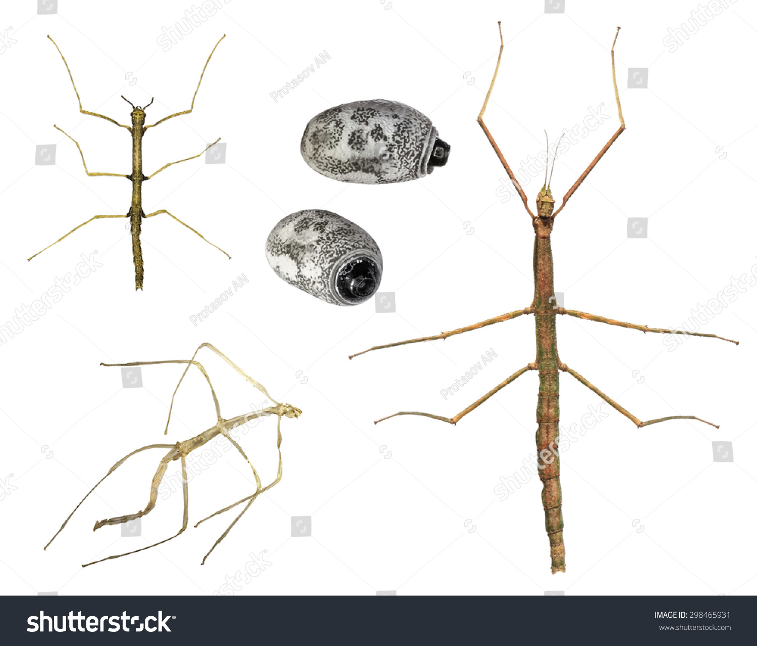 Stages Walking Stick Insect Development Asian Stock Photo
