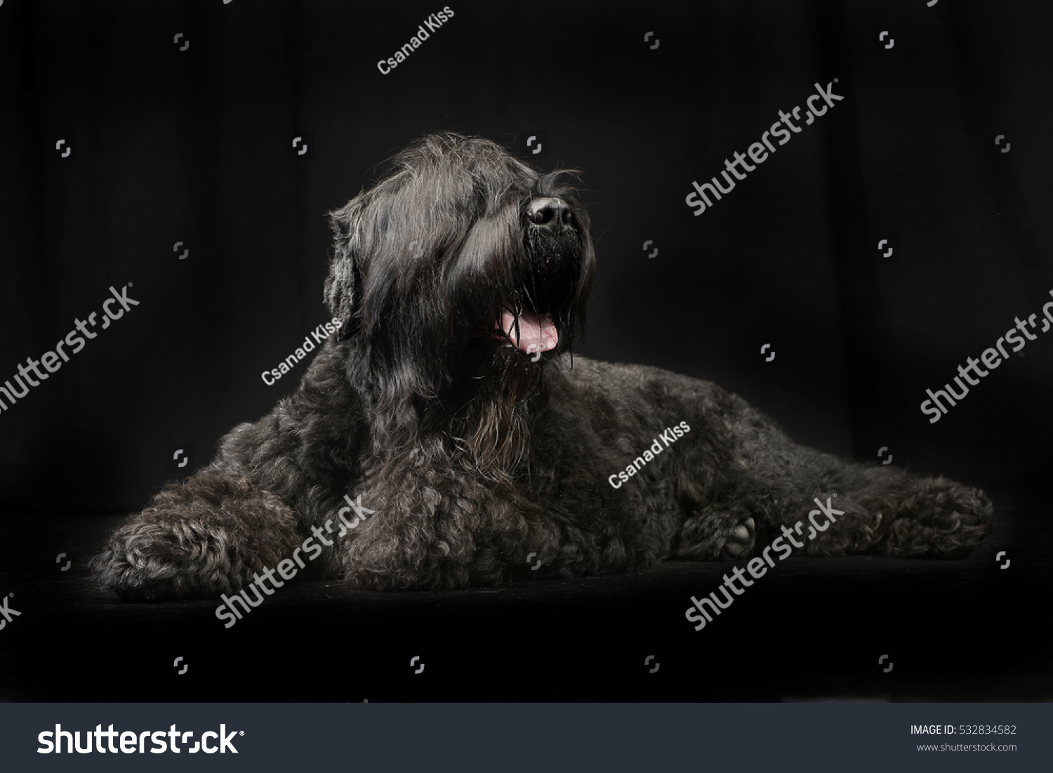 Studio Shot Adorable Black Russian Terrier Stock Photo