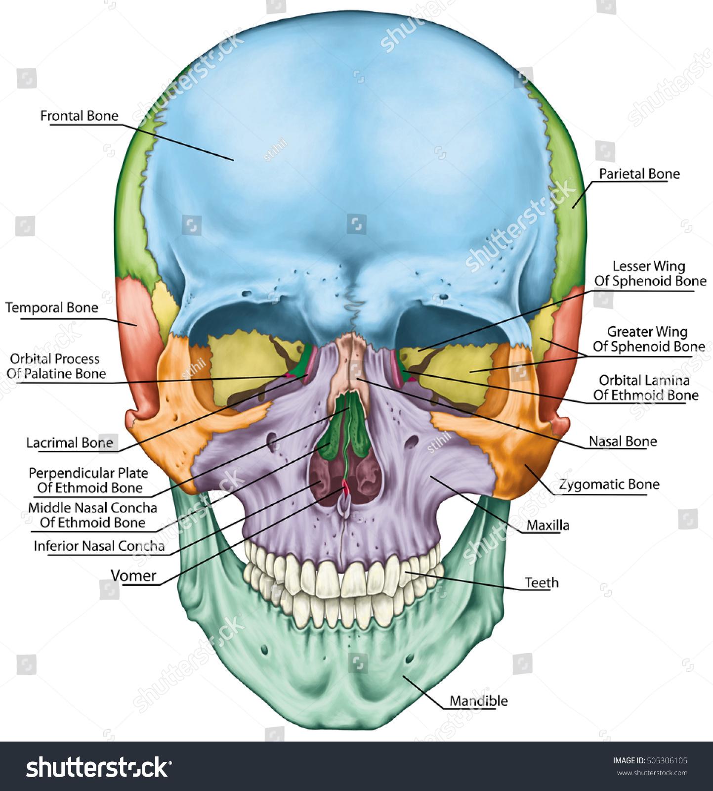 Bones Cranium Bones Head Skull Individual Stock