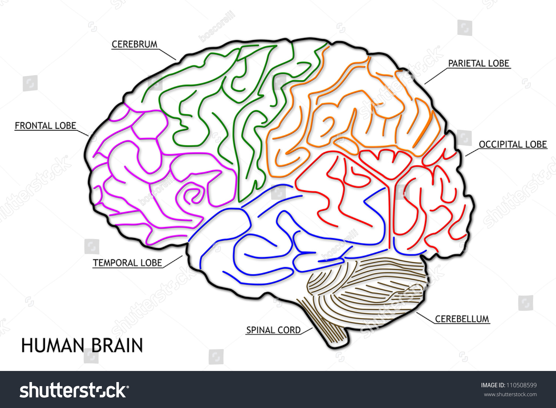 The Human Brain Structure Stock Photo Shutterstock