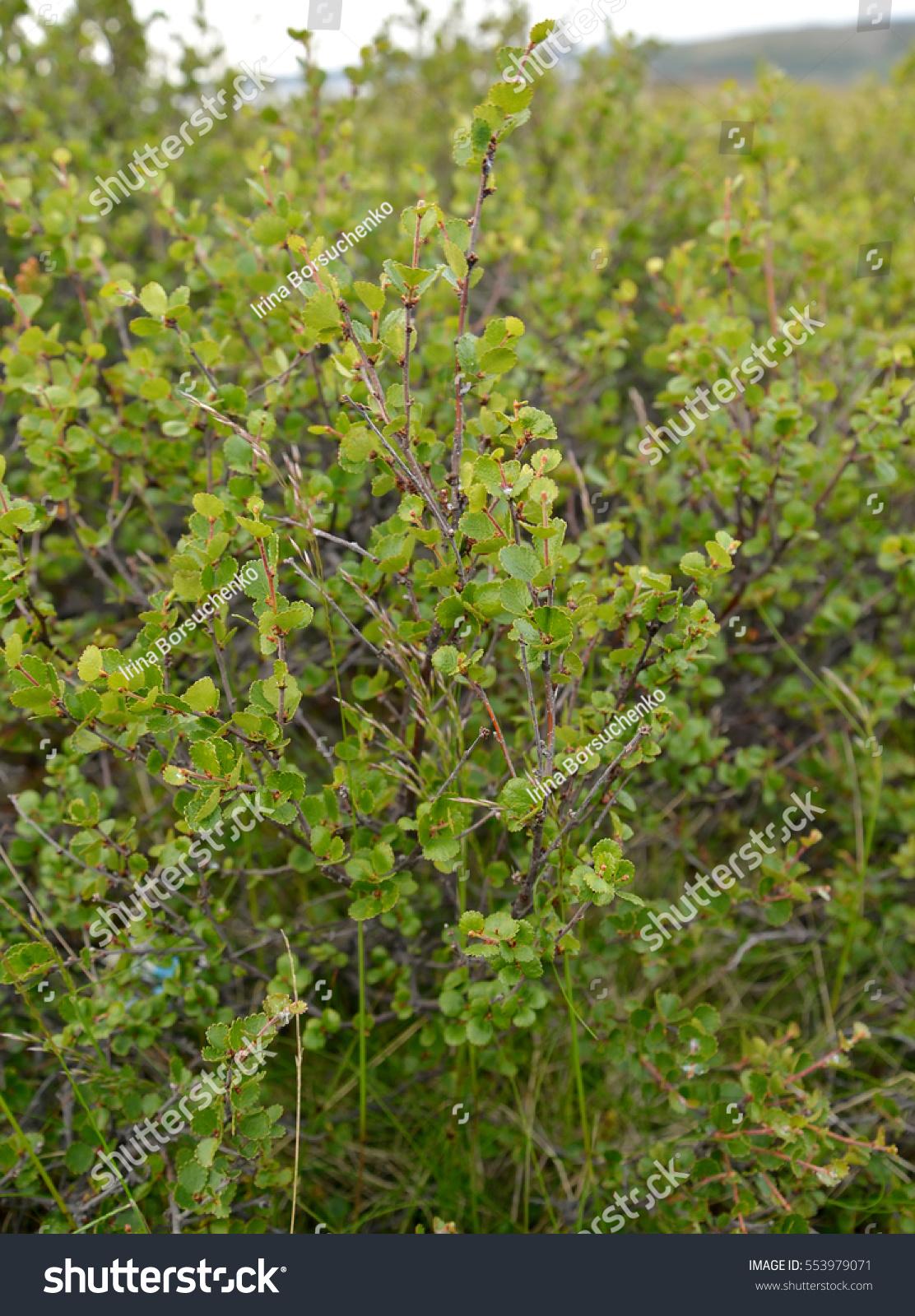 Thickets Dwarfish Birch Betula Nana L Stock Photo Edit Now
