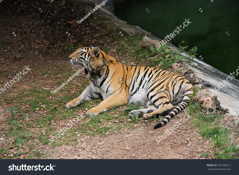tiger relax near river stock photo 391980412 - shutterstock