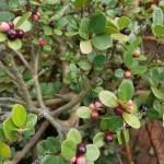 Tiny Fruits Ficus Microcarpa Bonsai Plant Stock Photo Edit Now 1472365964
