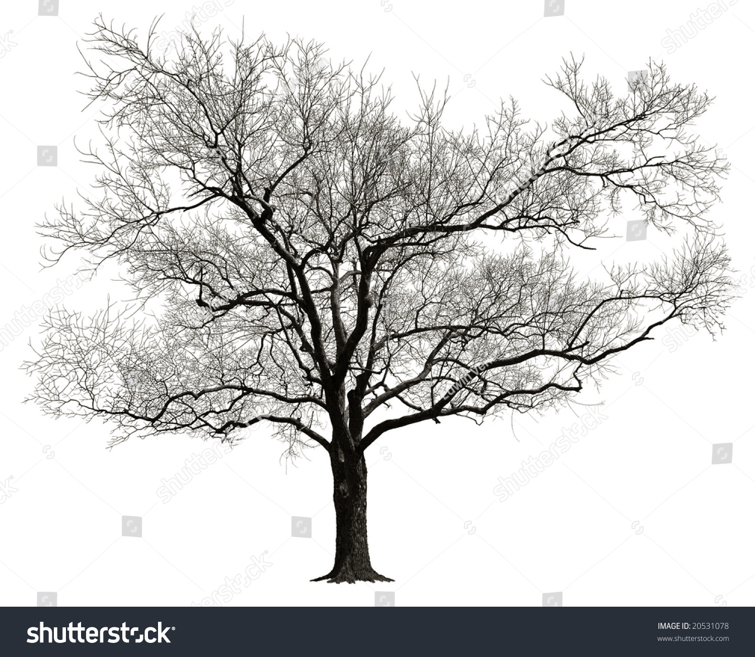 Tree Without Leaves Isolated In White Background Stock