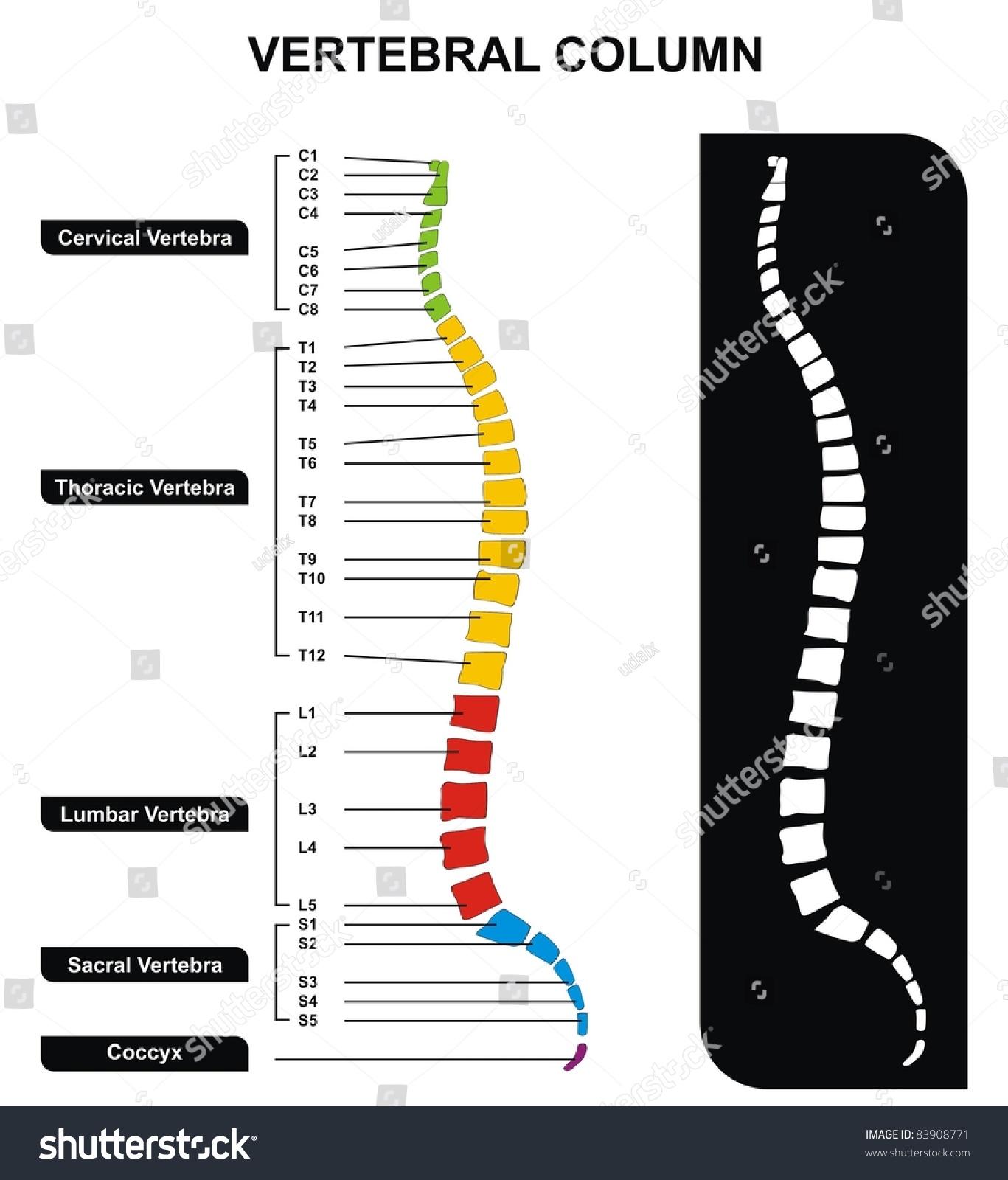 Vertebral Column Vertebral Column Groups