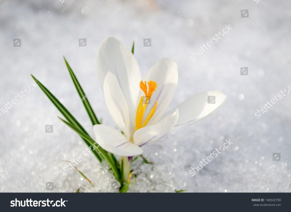 White Saffron Crocus First Spring Flower Stock Photo (Edit Now ...