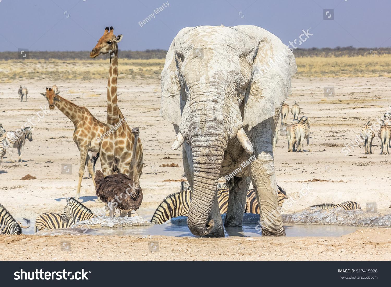 Wild Animals Zebras Elephants Giraffes Ostriches Stock