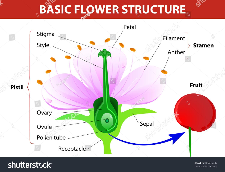Anatomy Cherry Flower Flower Fruit Vector Stock Vector