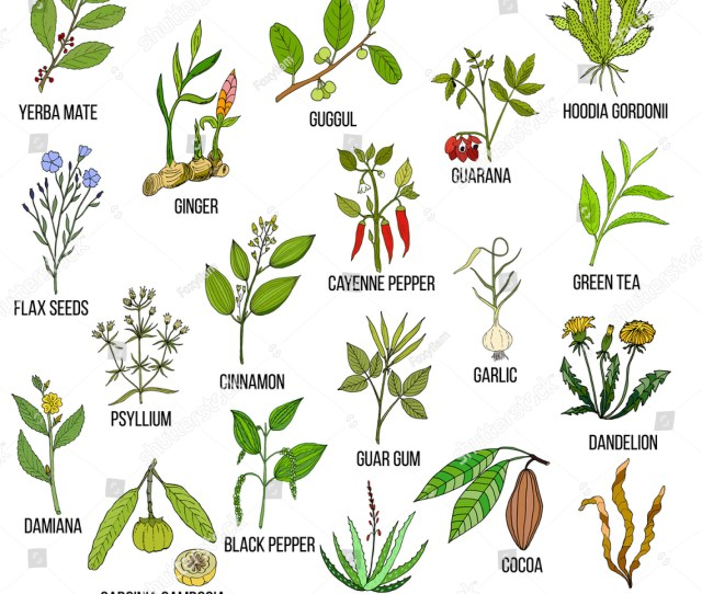 Best Natural Herbs For Fast Weight Loss Hand Drawn Vector Set Of Medicinal Plants