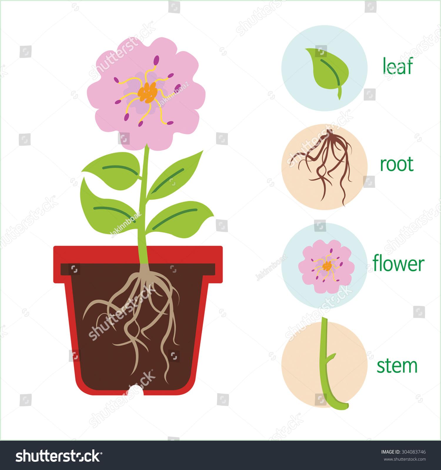 Diagram Plant Flower Consists Stem Roots Stock Vector