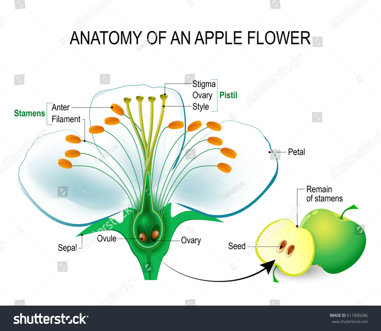 Anatomy Apple Flower Flower Parts Detailed Stock Vector