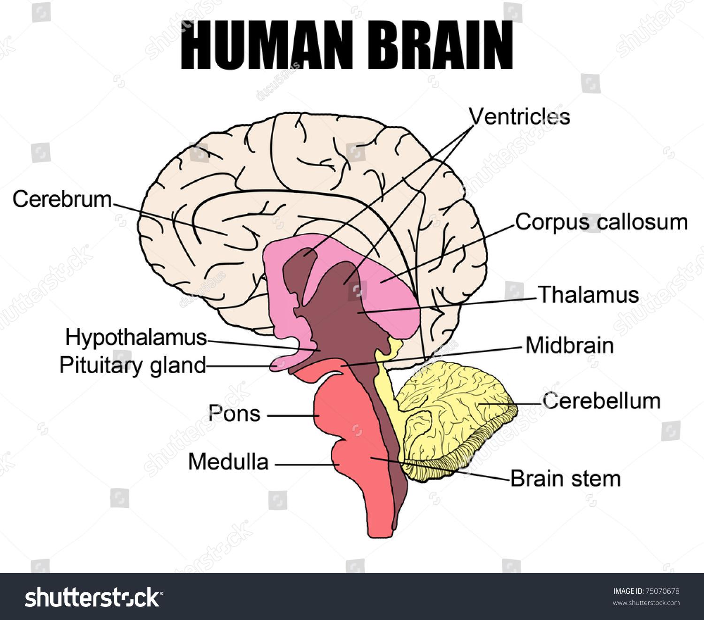 Anatomy Human Brain Vector Illustration For Stock Vector