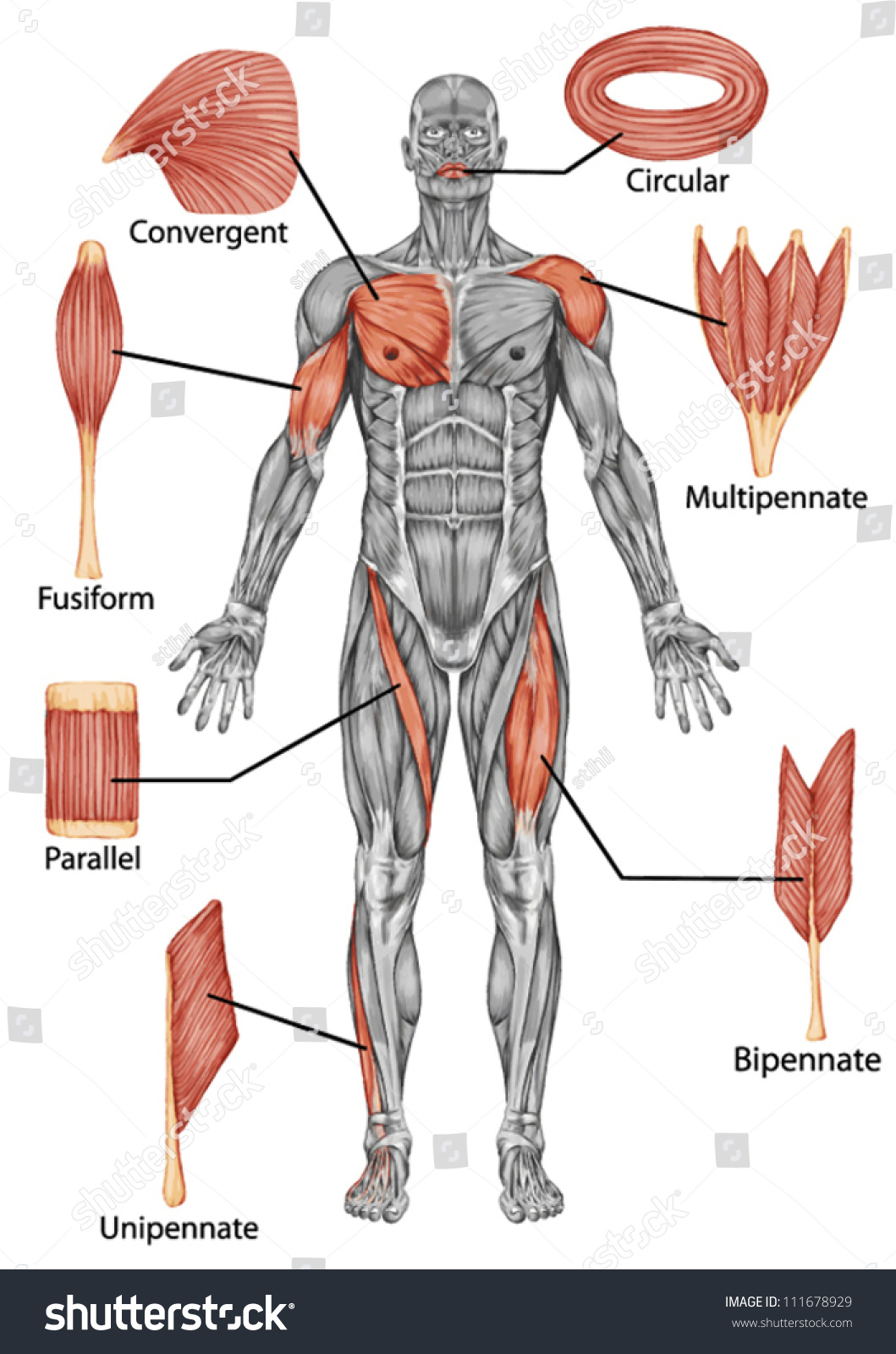 Anatomy Male Muscular System Posterior View Stock Vector
