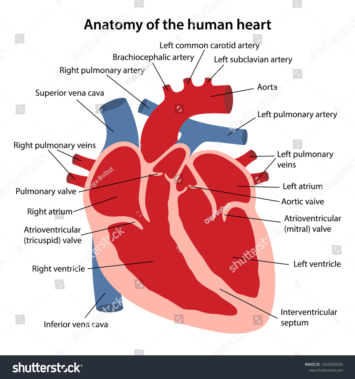Heart Anatomy Diagram Labeled