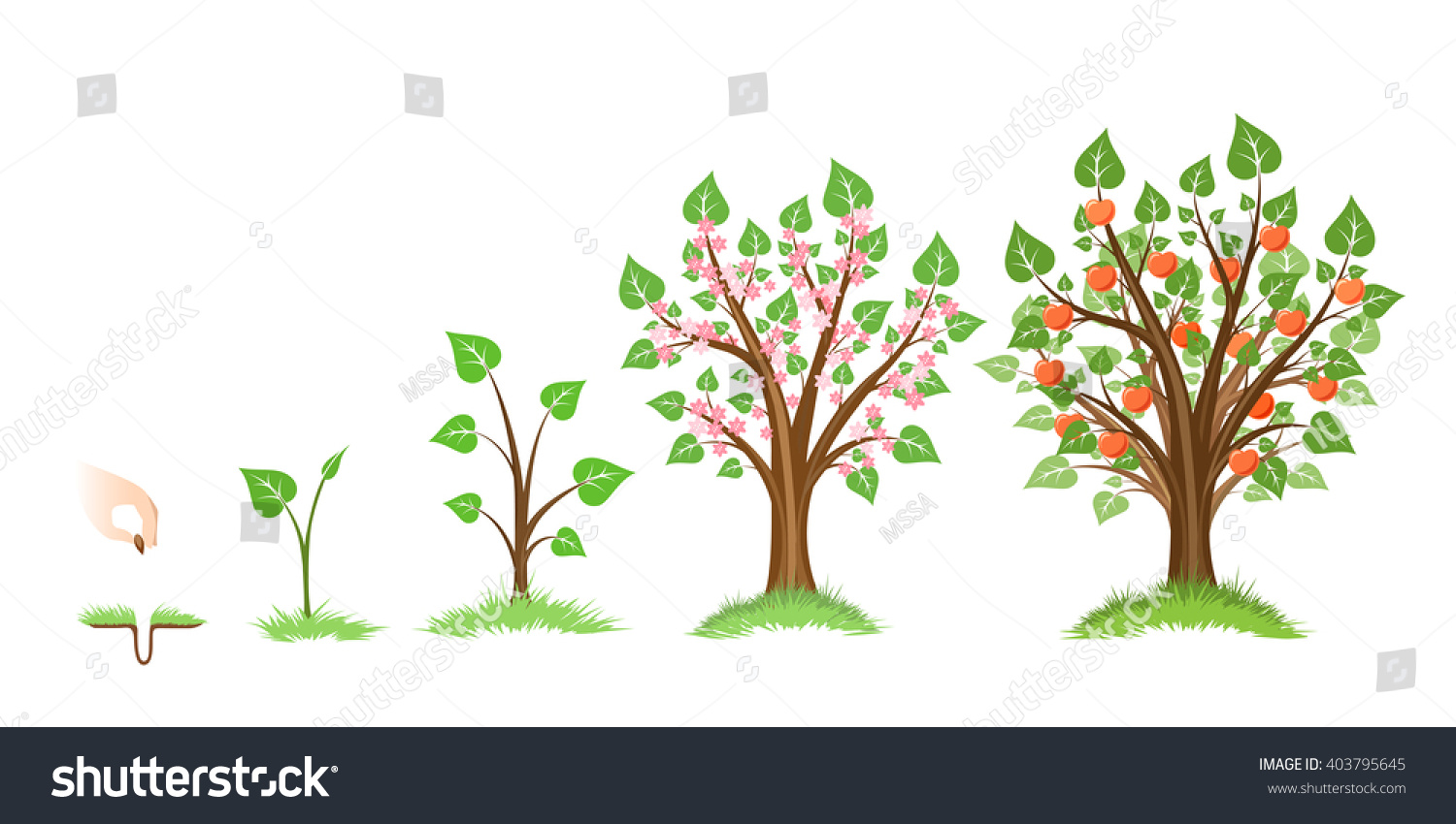 Apple Tree Growth Cycle Plant Cycle Stock Vector