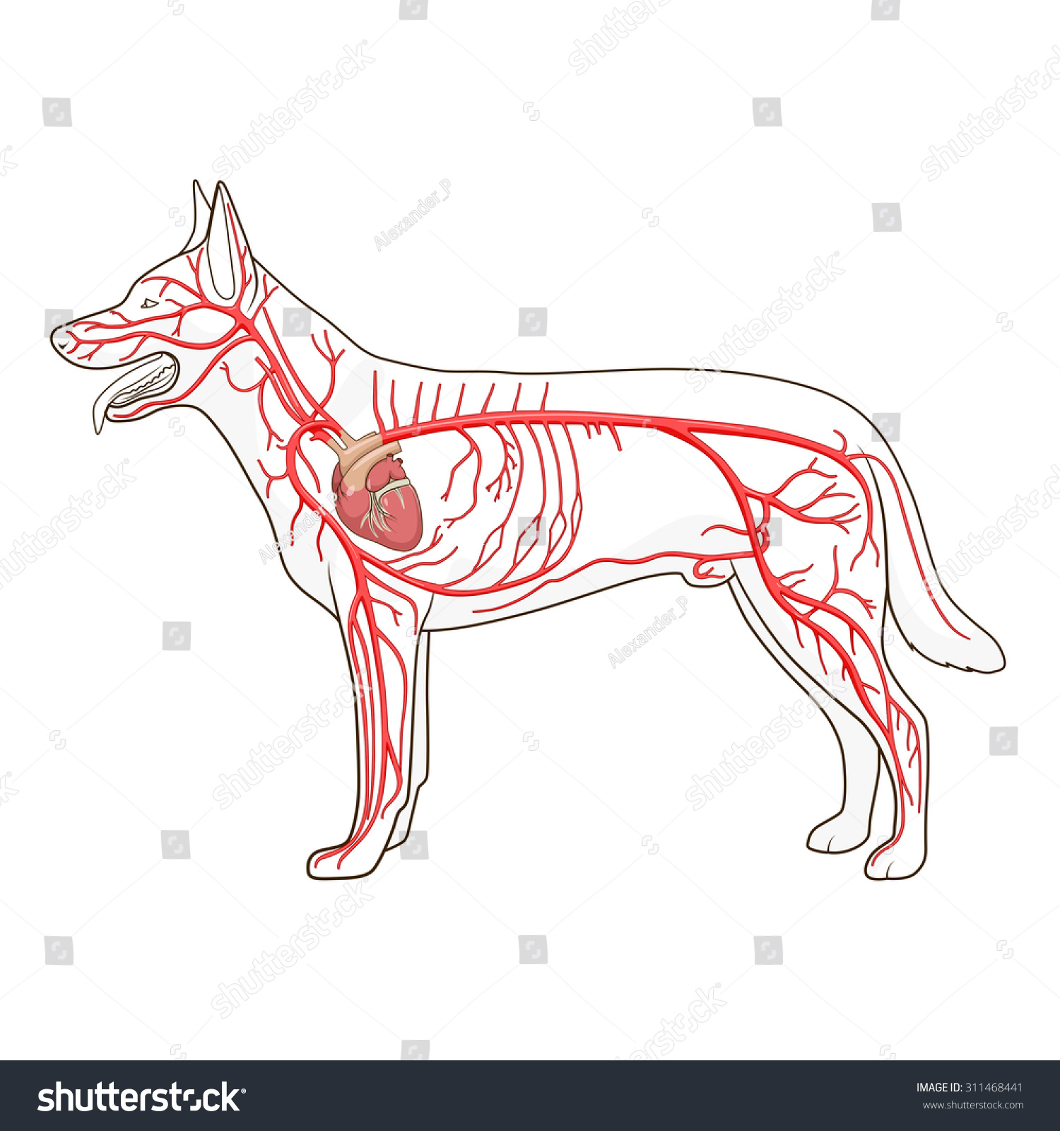 Arterial Circulatory System Dog Vector Illustration Stock