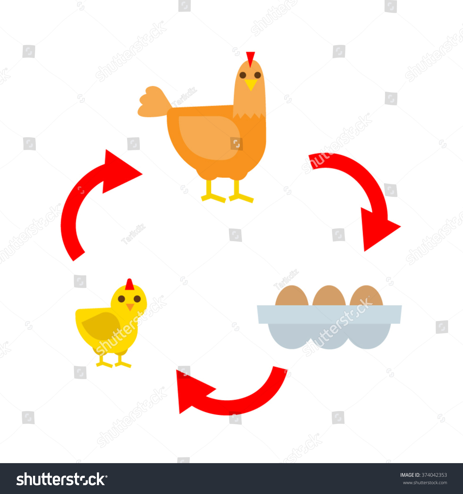 Chicken Life Cycle Chicken Hen Eggs