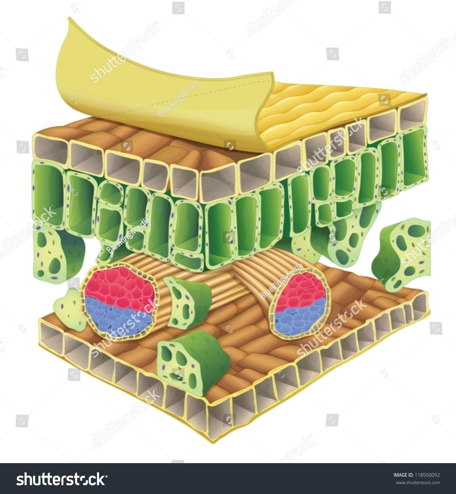 Cross Section Plant Vascular Tissue Stock Vector