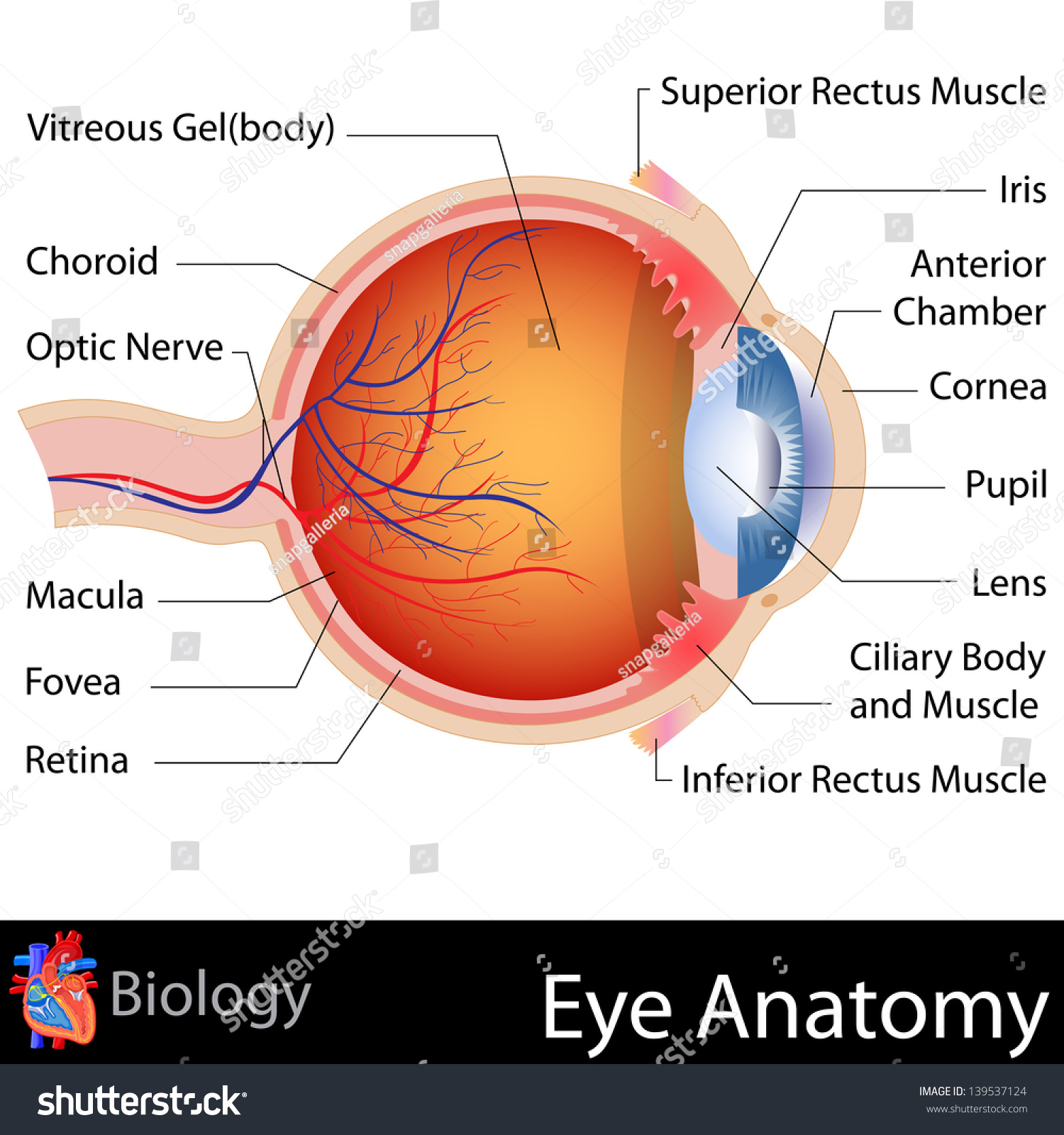 Easy Edit Vector Illustration Anatomy Eye Stock Vector