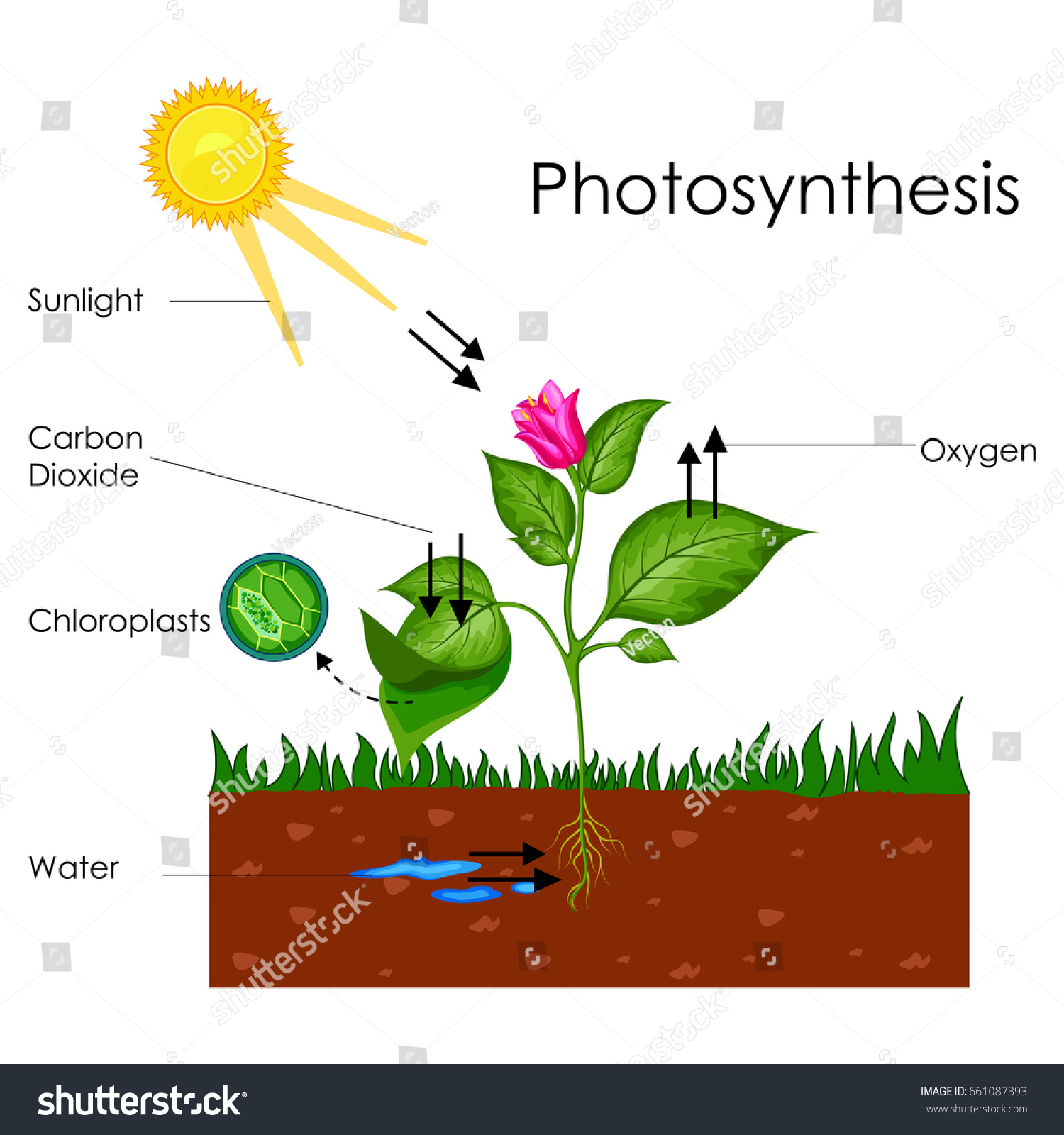 Education Chart Biology Photosynthesis Process Diagram