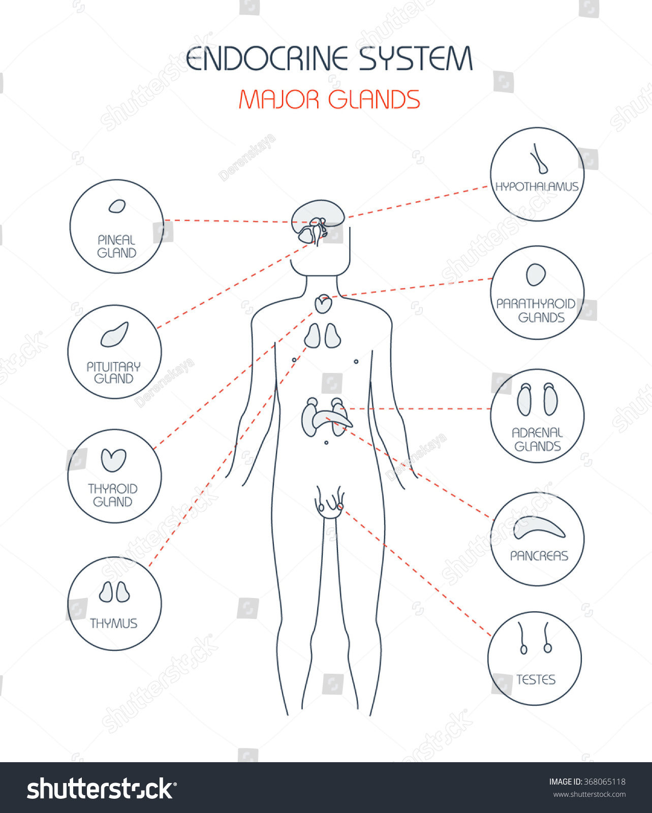Endocrine System Human Anatomy Human Silhouette Stock Vector