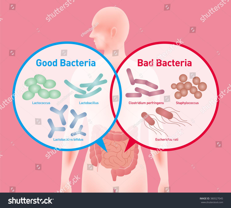Good Bacteria Bad Bacteria Enteric Bacteria Stock Vector