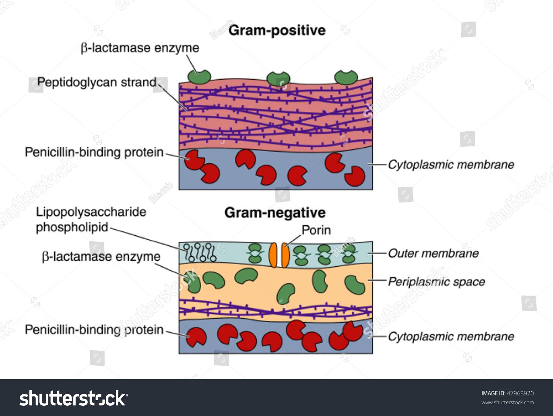 Grampositive Gramnegative Bacteria Stock Vector