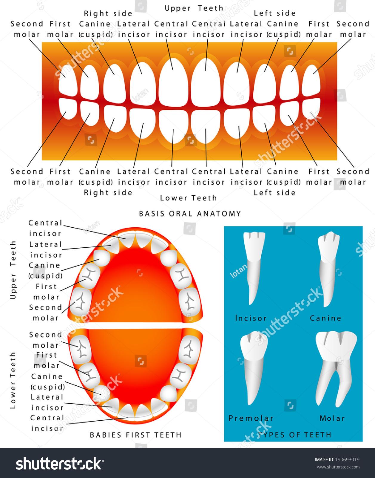 Human Anatomy Children Teeth Baby Teething Stock Vector