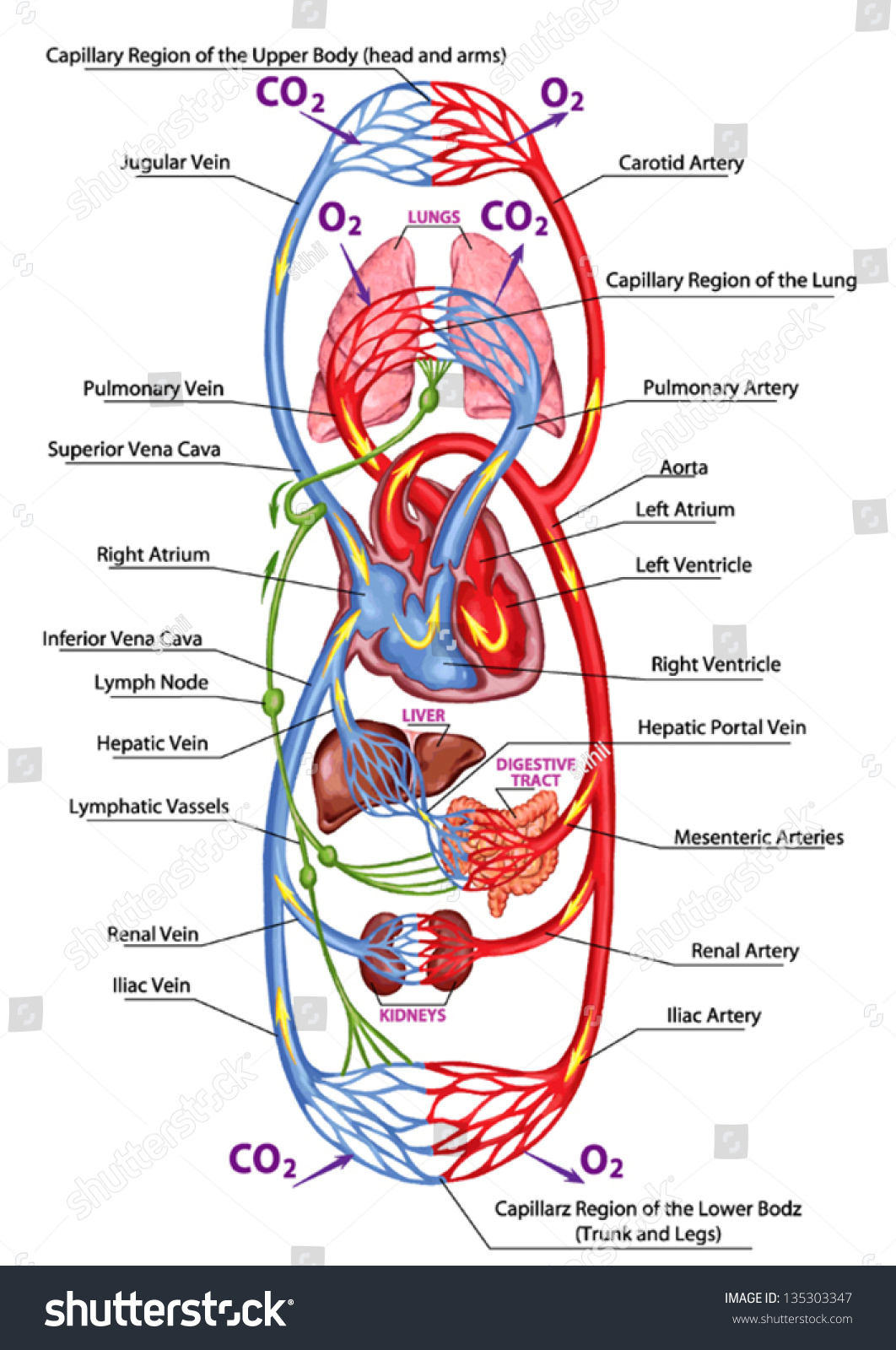 Human Bloodstream Didactic Board Anatomy Blood Stock