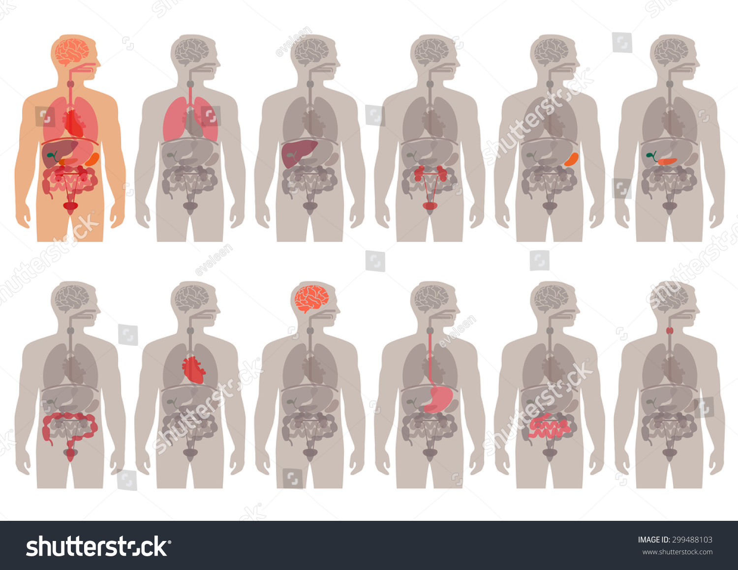 Human Body Anatomy Vector Medical Organs Stock Vector