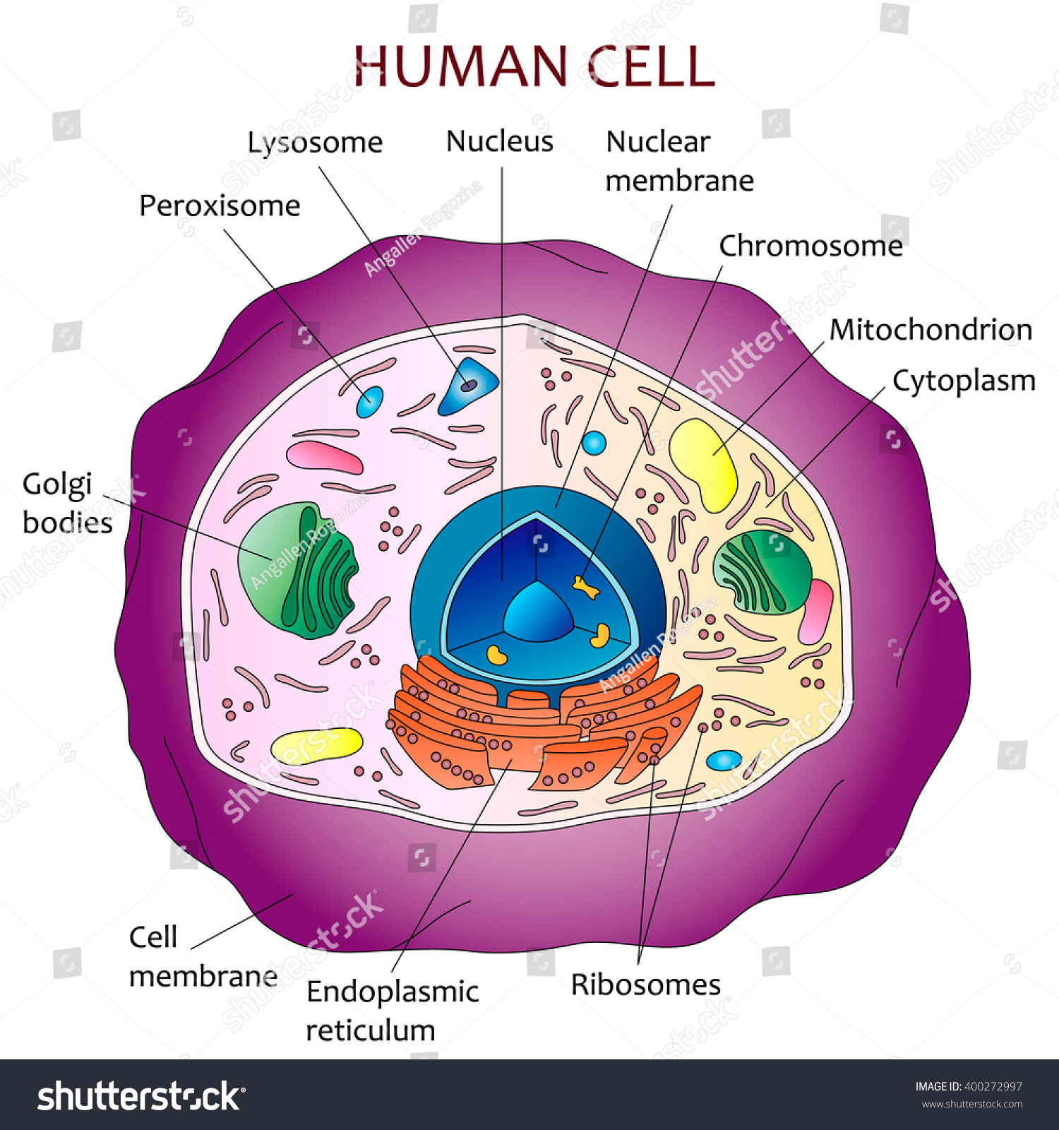 Human Cell Diagram Stock Vector Shutterstock