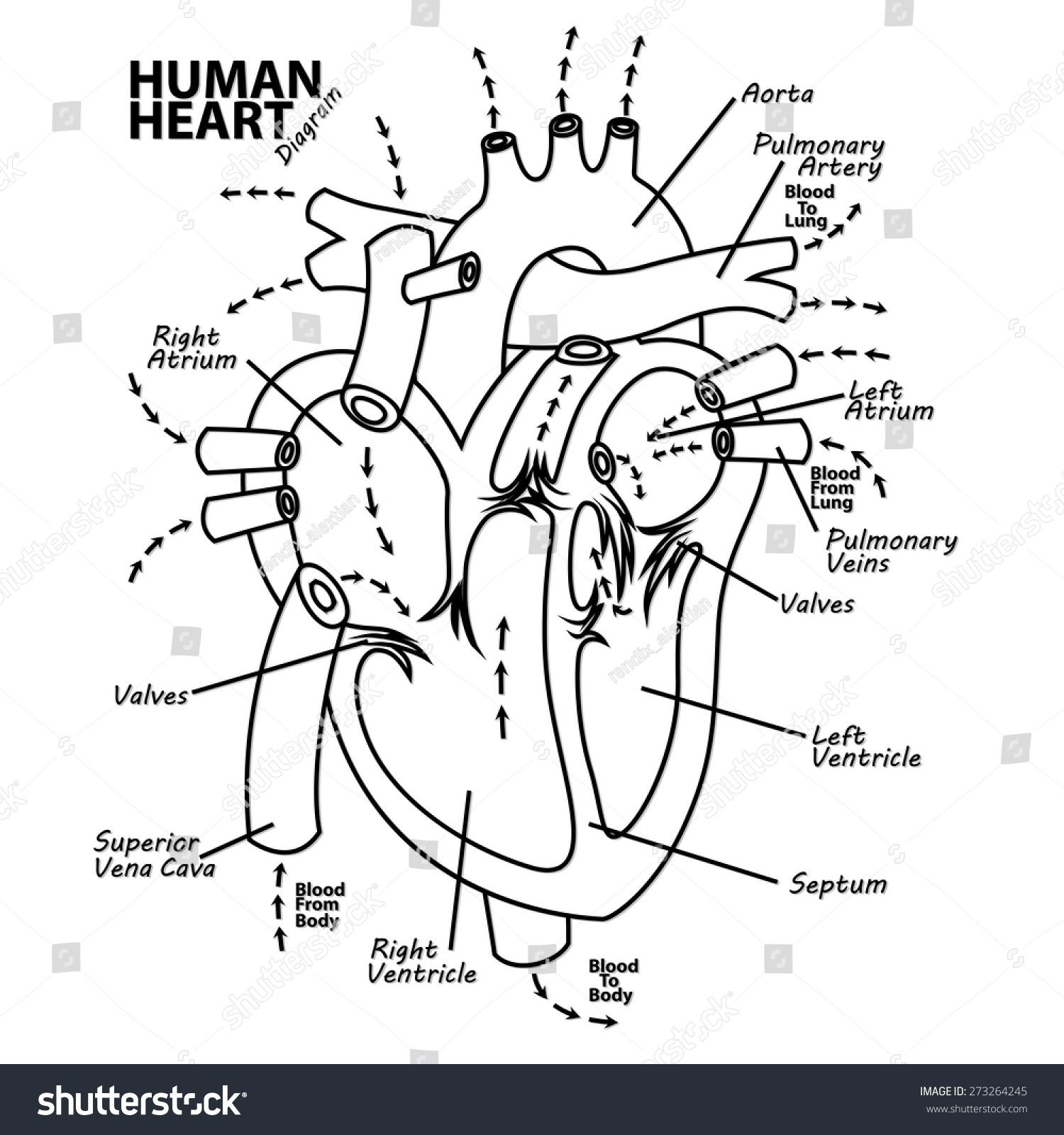 Human Heart Diagram Anatomy Stock Vector