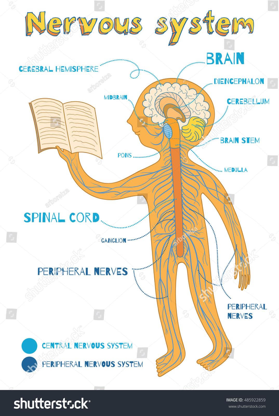 Human Nervous System Kids Vector Color Vectores En Stock