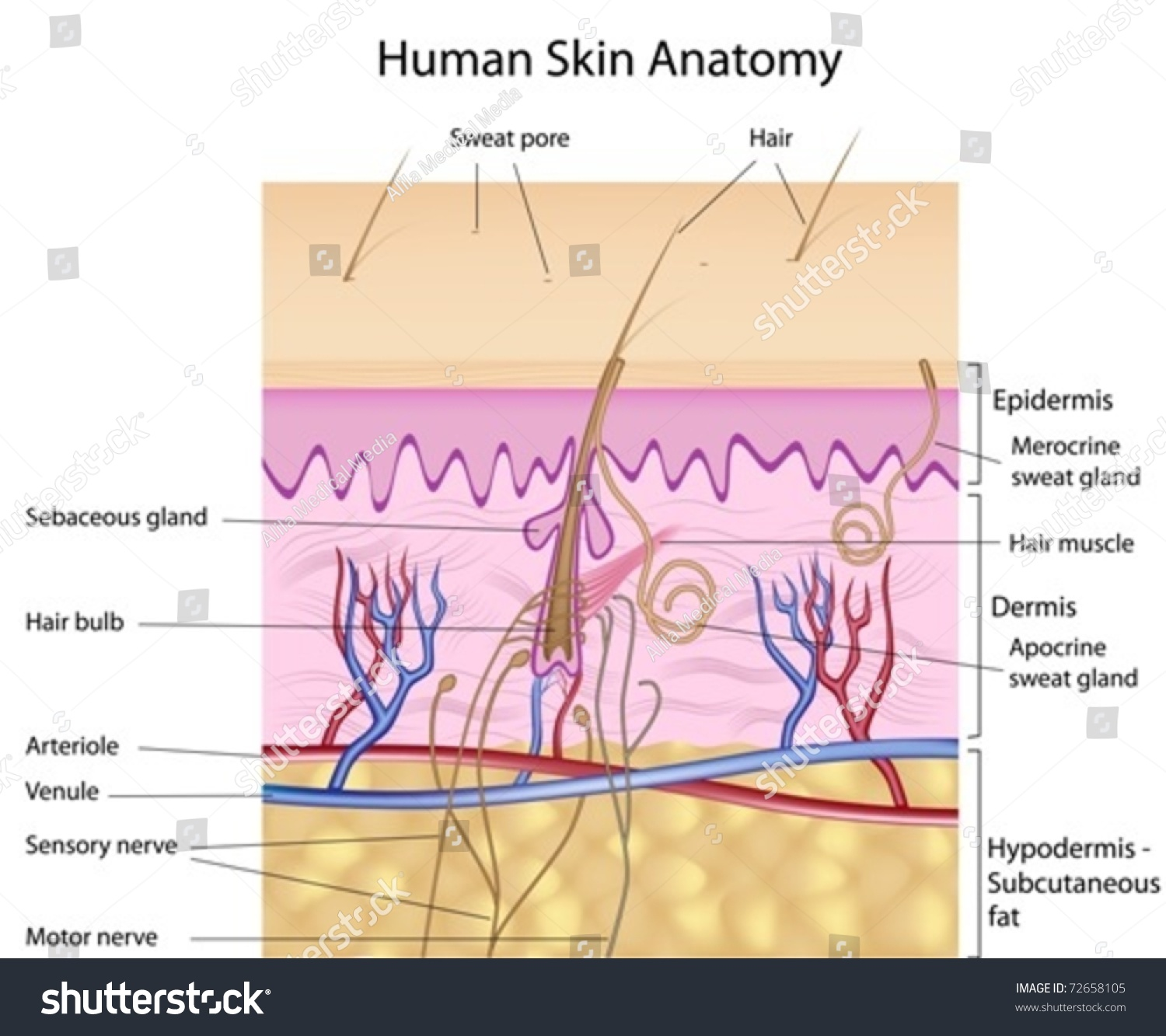 Human Skin Crosssection Labeled Stock Vector