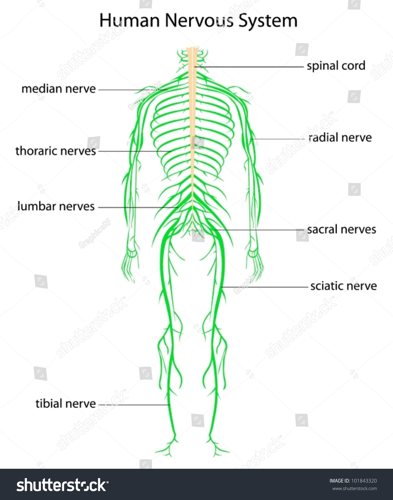 Easy Nervous System Worksheet