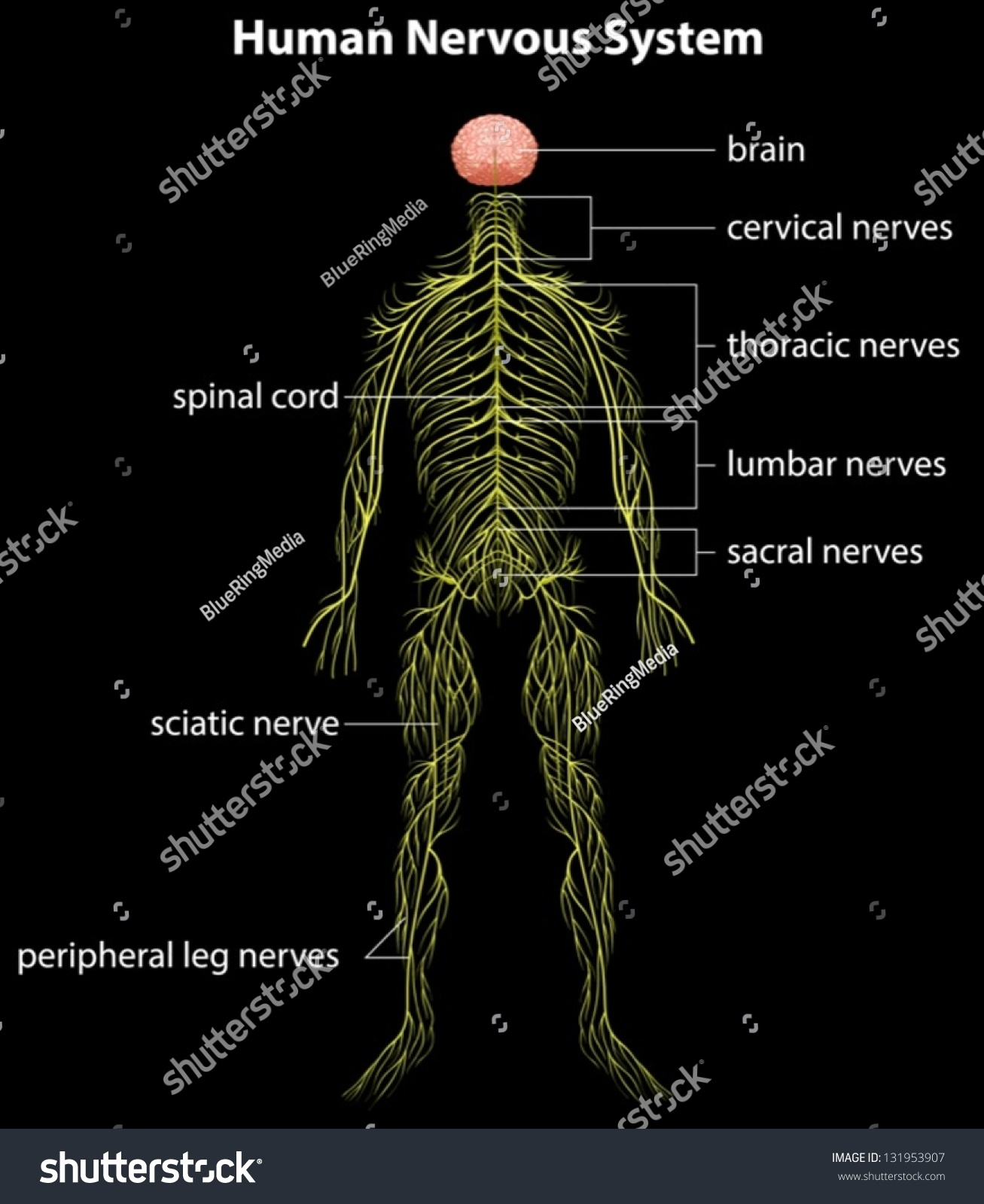 Illustration Human Nervous System Stock Vector