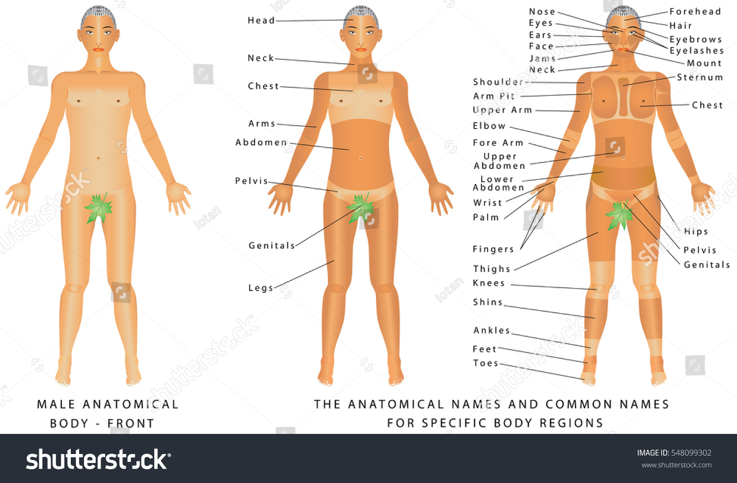 Male Body Front Surface Anatomy Human Stock Vector