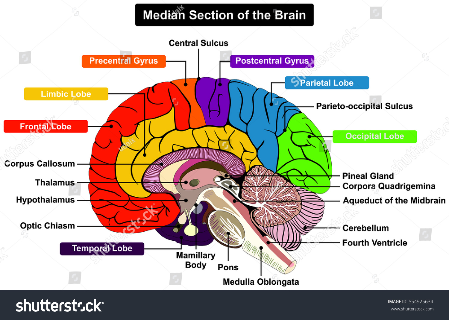 Brain Lobes Diagram Worksheet