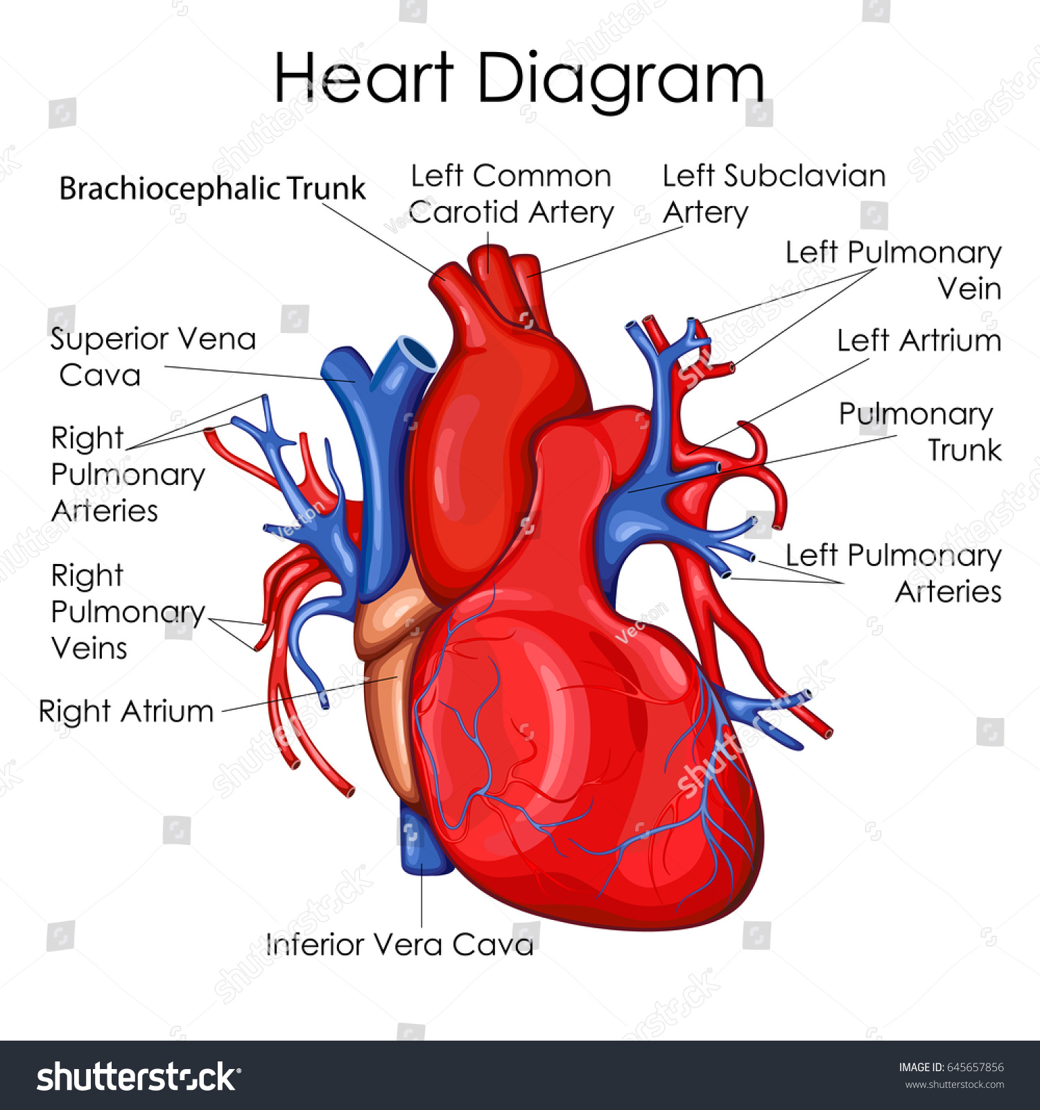 The Heart Of The Cardiac System Anatomy Worksheet 1