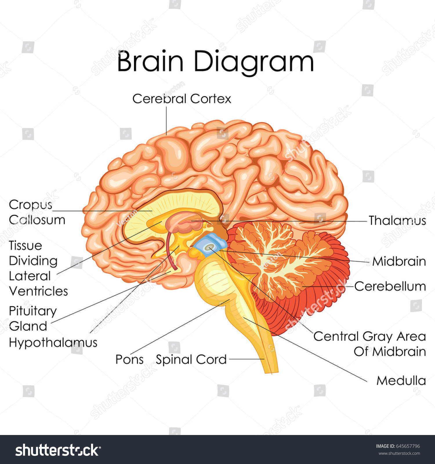 Medical Education Chart Biology Human Brain Stock Vector