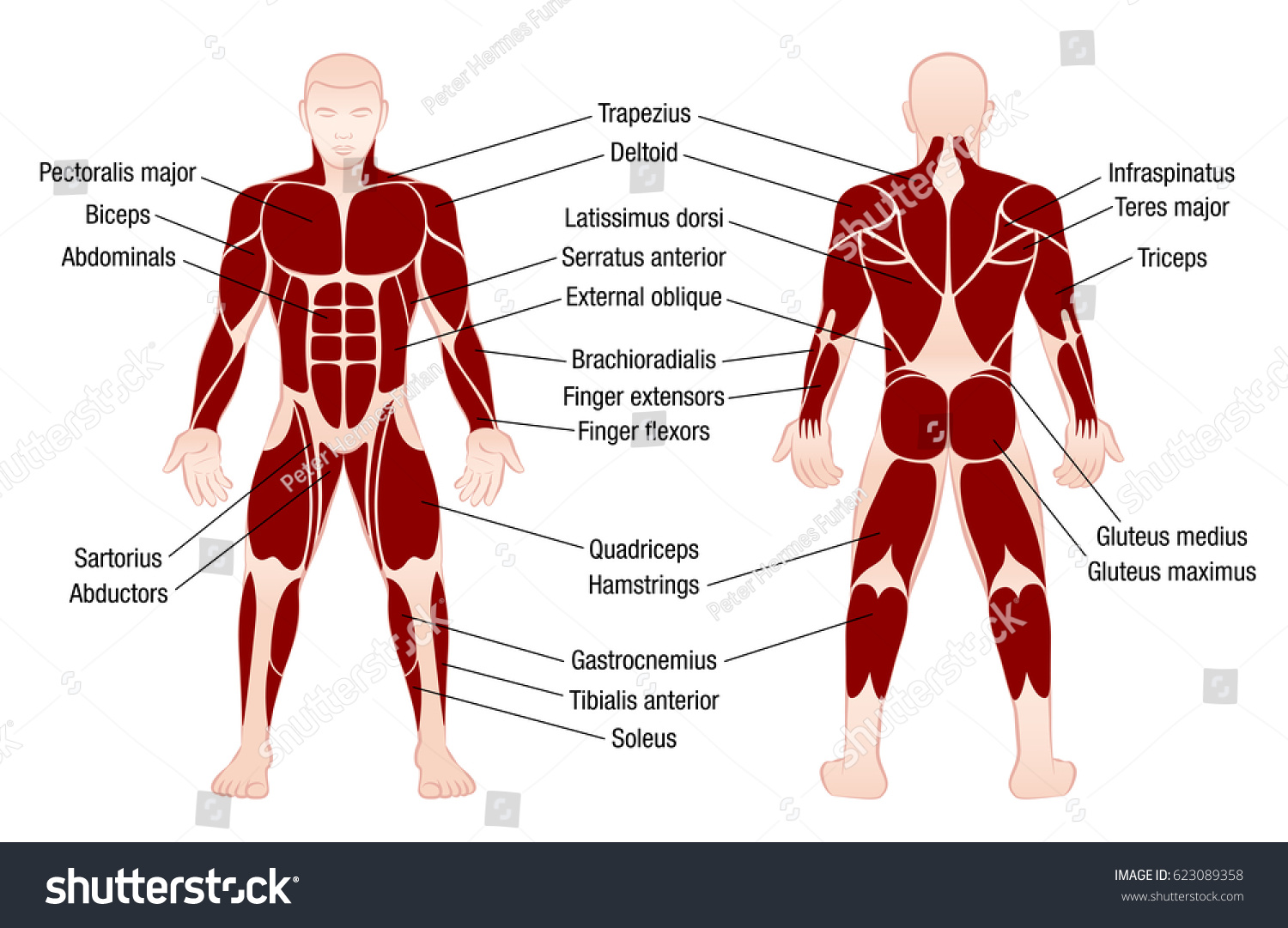 Muscle Chart Accurate Description Most Important Stock