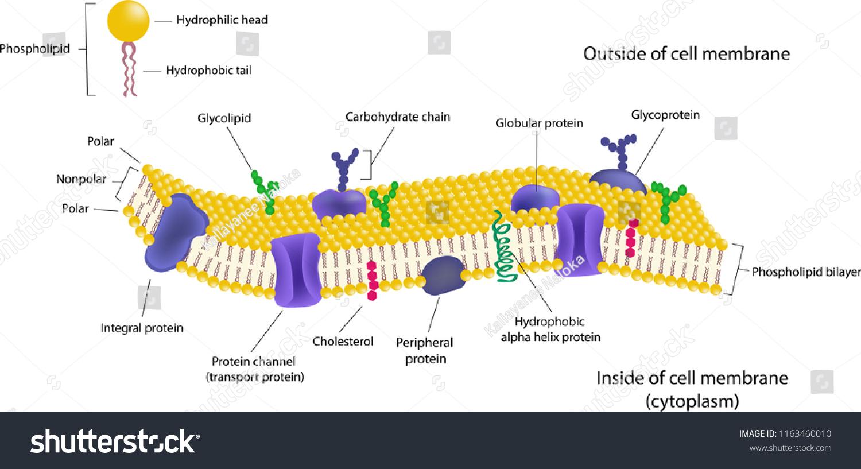 Phospholipid Bilayer Diagram Label