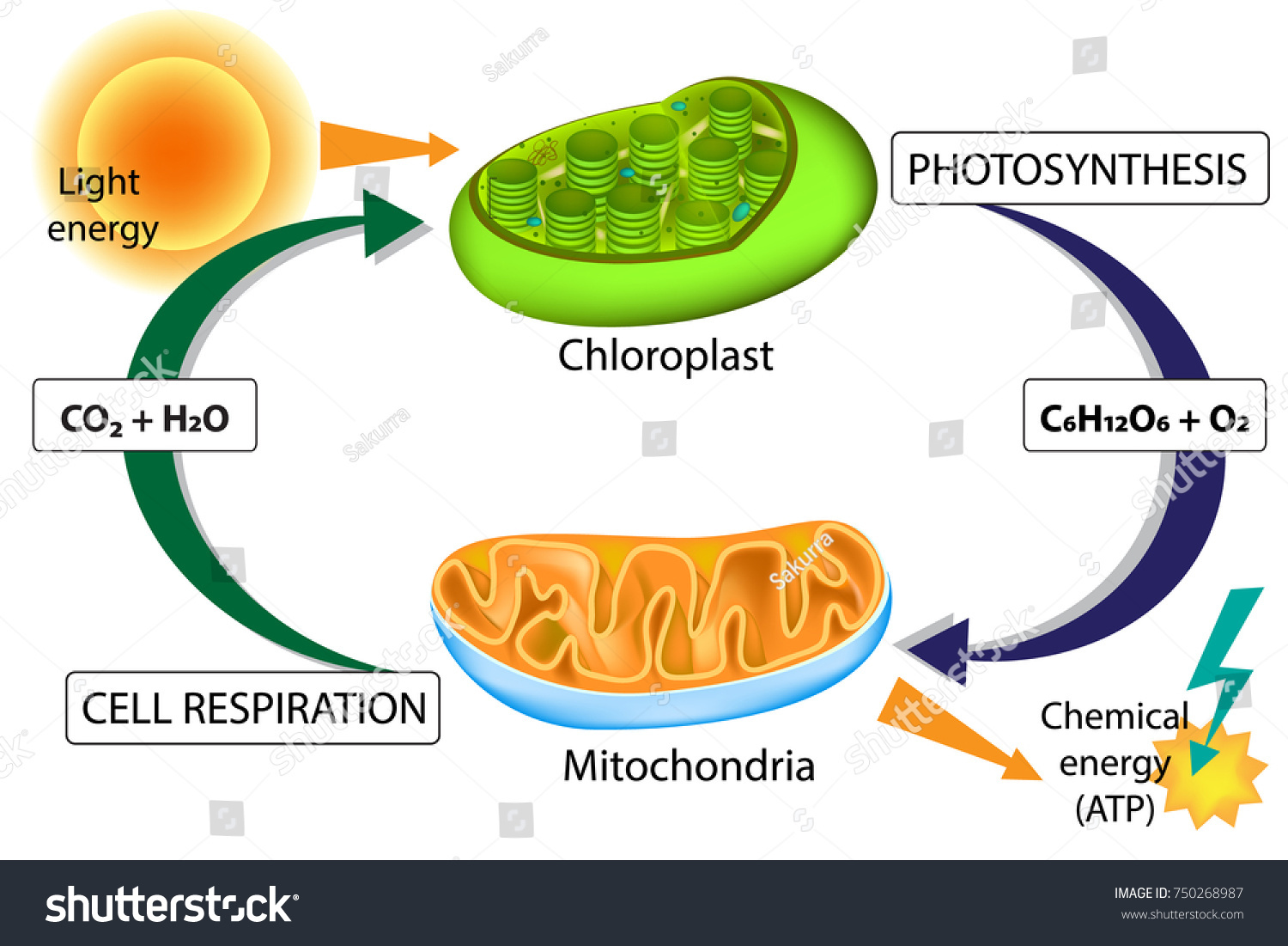 Photosynthesis Cellular Respiration Chloroplast