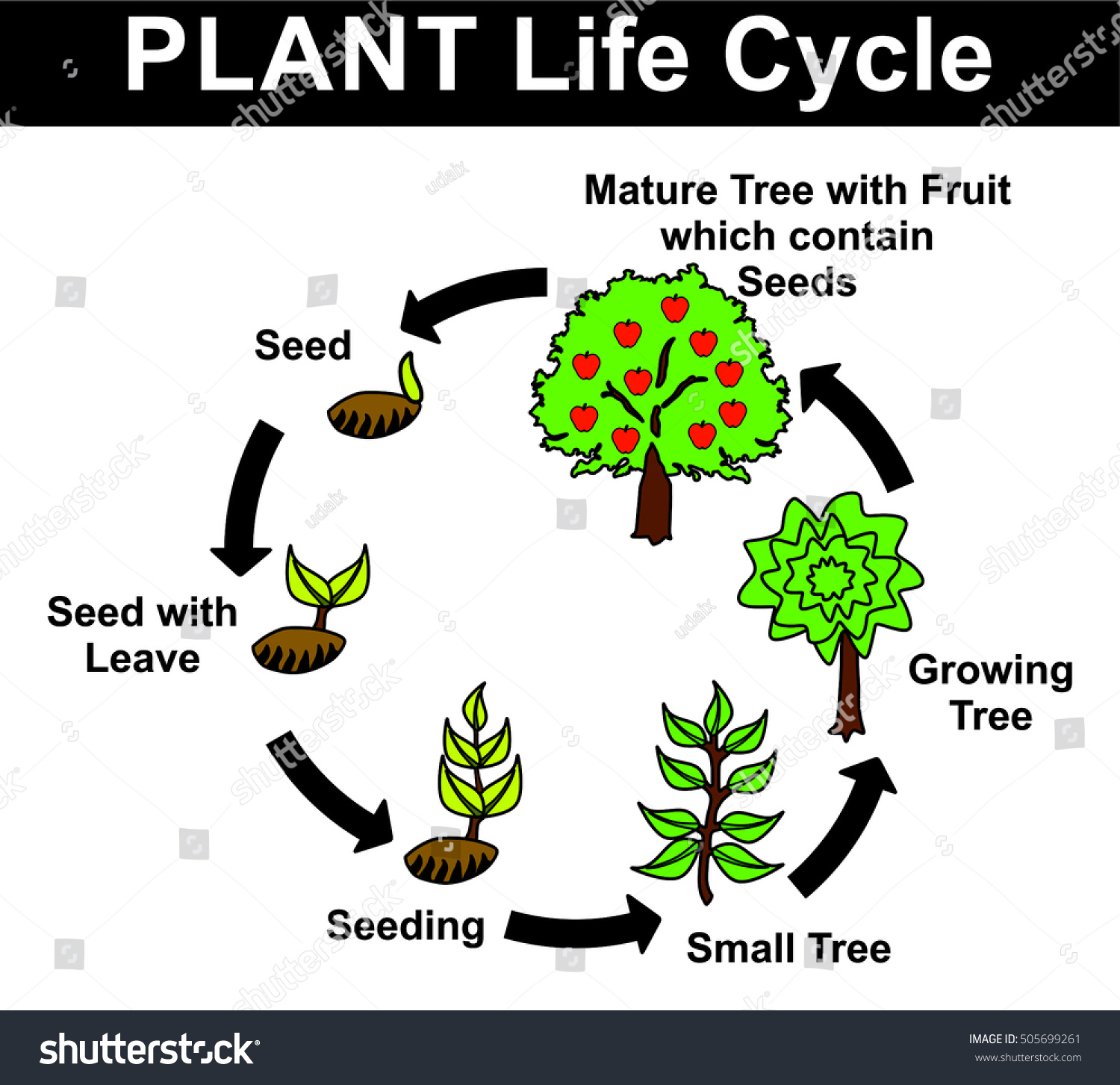 Plant Life Cycle All Stages Seed Stock Vector