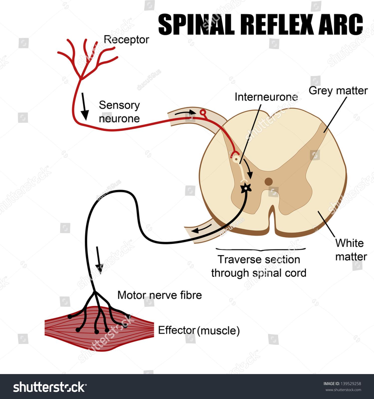 Spinal Reflex Arc Vector Illustration For Basic Medical