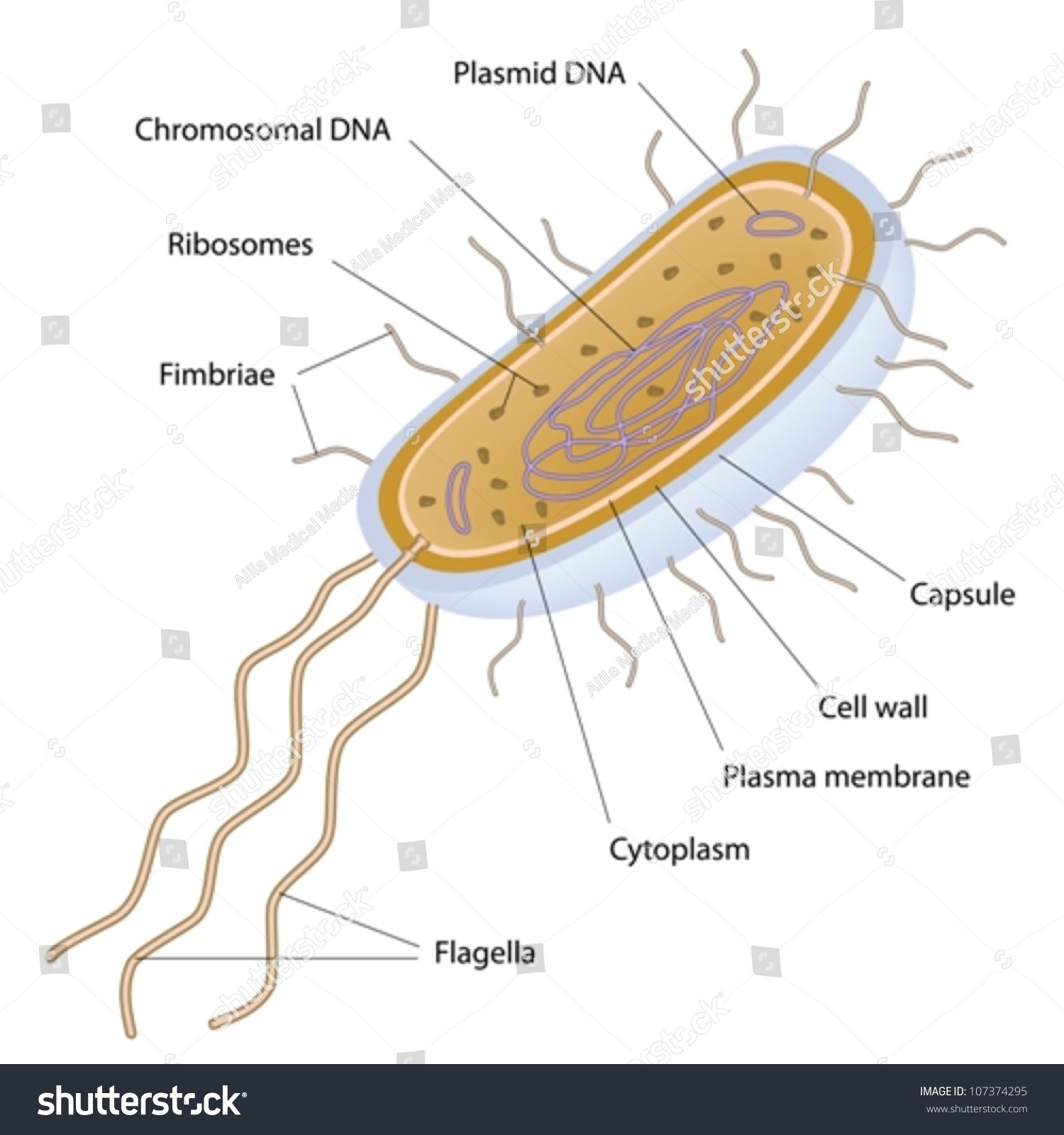 Structure Bacterial Cell Stock Vector