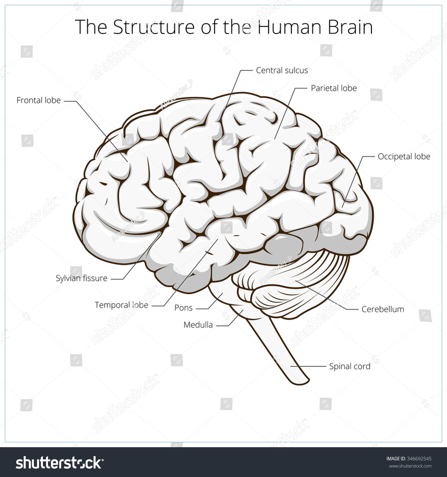 Structure Human Brain Schematic Vector Illustration Stock