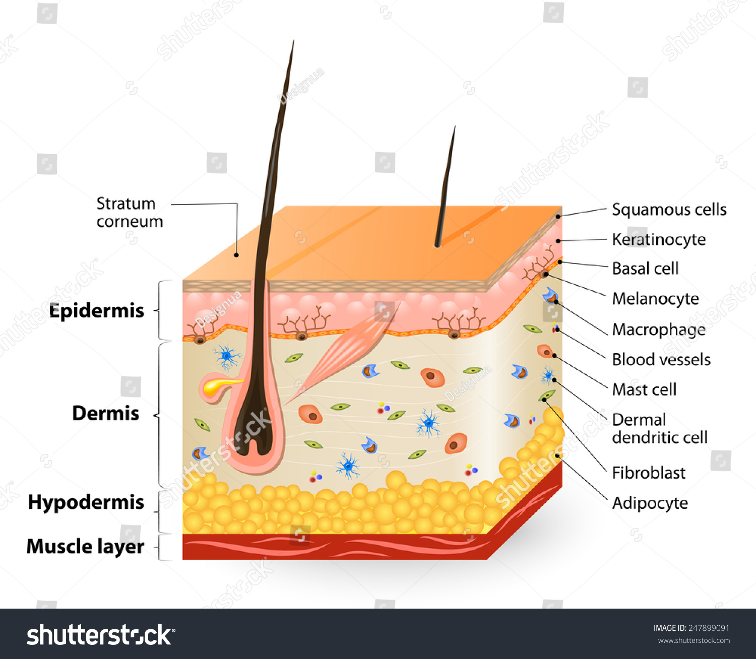 Structure Human Skin Anatomy Diagram Different Stock