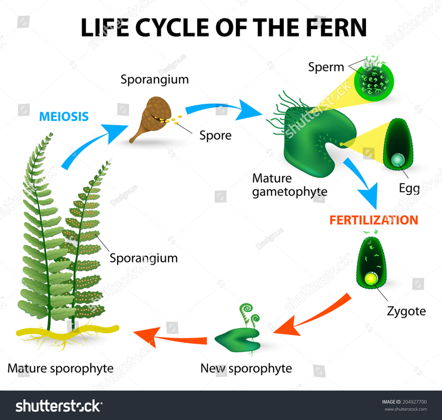 Life Cycle Ferns Different Other Land Stock Vector