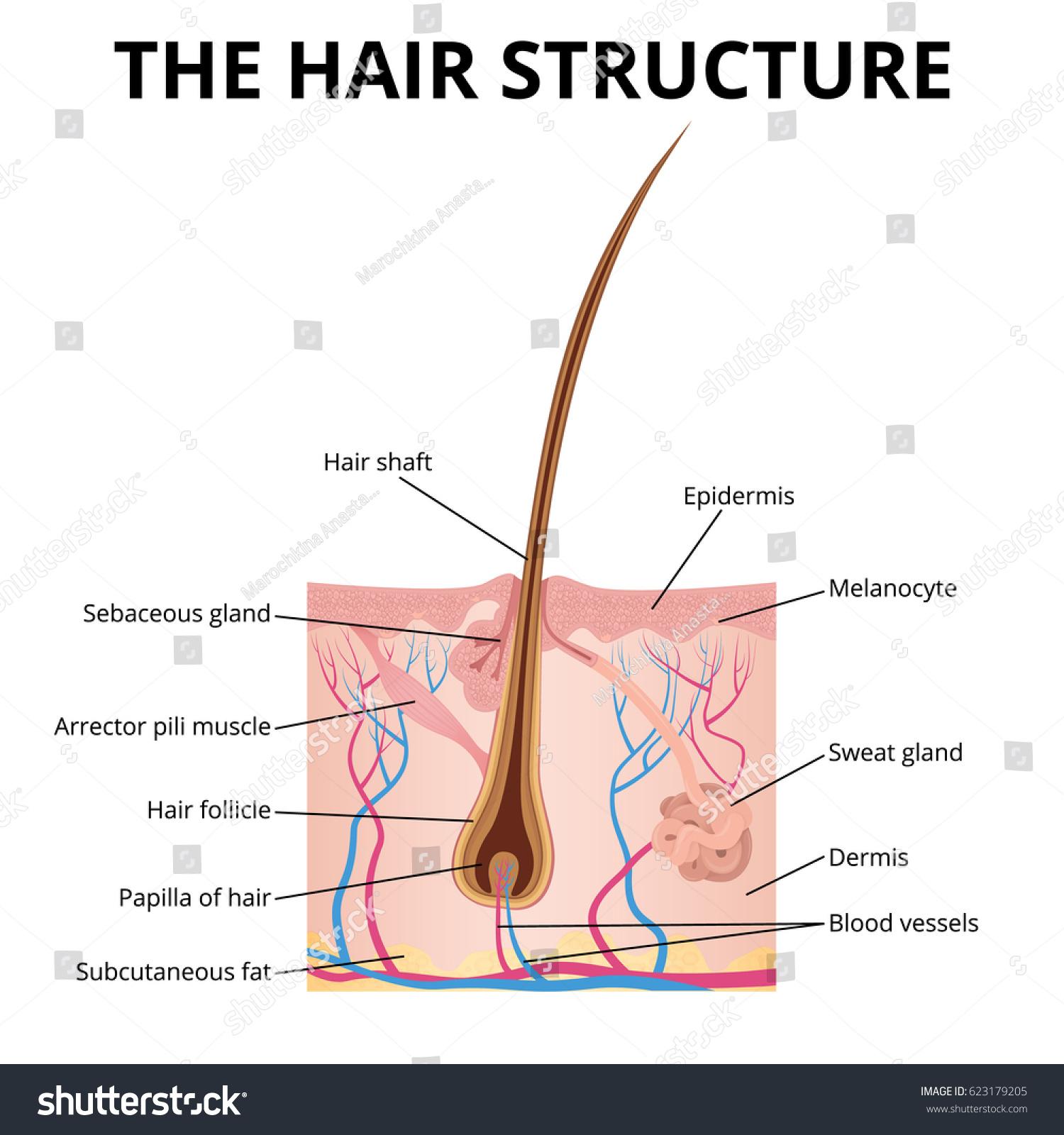 Ungewhnlich Anatomy Of The Hair Follicle Galerie Physiologie Von